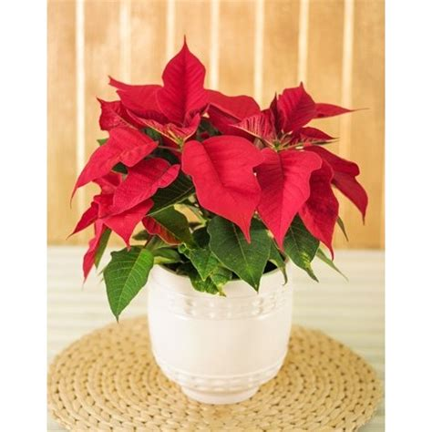 pot plant christmas altar poinsettia plant in ceramic pot south africa inmotion flowers