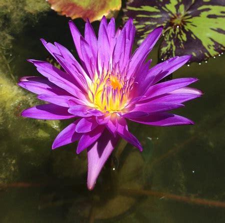 Tanaman Air Teratai tanaman teratai capensis ungu jual tanaman hias