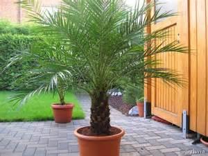 palme terrasse phoenix roebelenii
