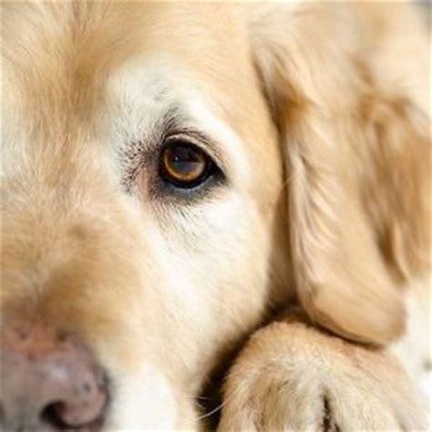do golden retrievers webbed how well do you your labrador quiz