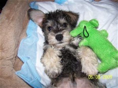 mini schnoodle puppies for sale schnoodle puppies for sale schnauzer puppies for sale miniature schnoodle
