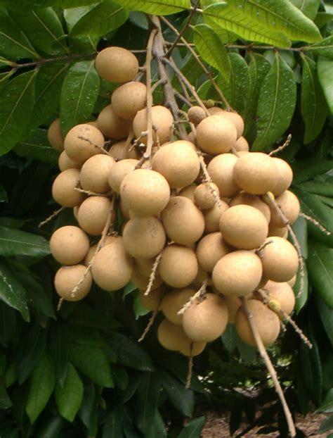 Tanaman Black Grumichama 193 rboles frutales raros arboles frutales