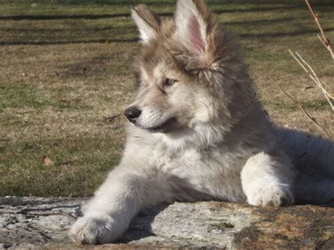 naid puppies american indian character appearance and pictures