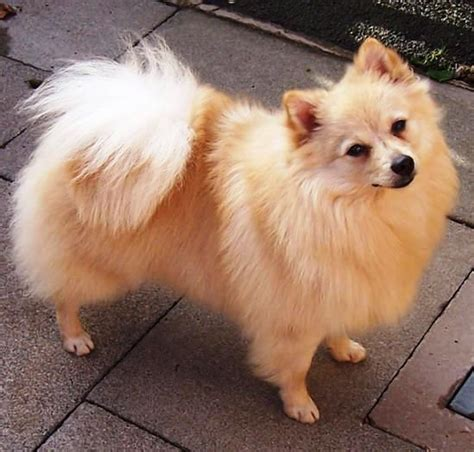 pomeranian spitz 25 best images about german spitz on what does bum what does