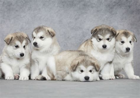 alaskan sled dogs the alaskan malamute from arctic sled to family pet