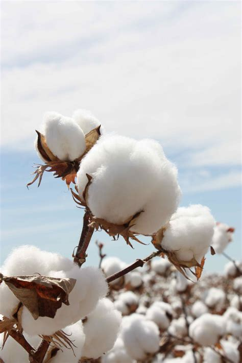 cotton arts 3 cotton boll on cotton cotton decor and
