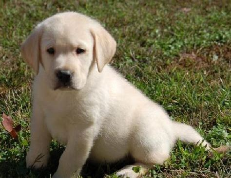 puppy for free labrador retriever puppies for sale 46 free hd wallpaper dogbreedswallpapers