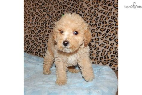 goldendoodle puppies for sale in indiana goldendoodle puppy for sale near south bend michiana