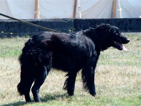 flat coated retriever breed flat coated retriever