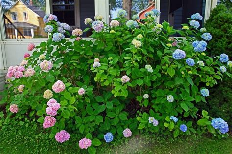 tips for hydrangea pruning