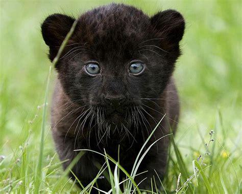 el jaguar panthera onca mascotas taringa el jaguar panthera onca mascotas taringa