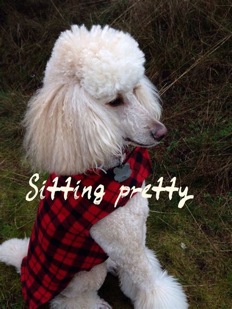 1000 images about doggy doos on pinterest poodles shih 1000 images about poodles are love on pinterest