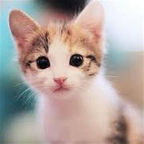 wallpaper anak kucing imut gambar kucing imut gambarkucing twitter