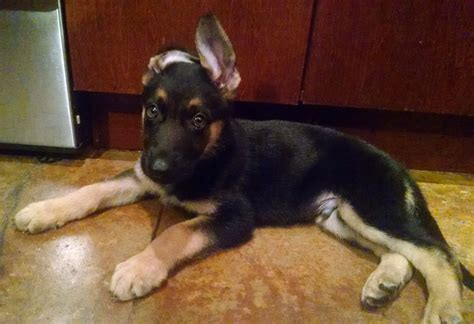 when do german shepherd puppies ears stand up pictures images wallpapers a gallery of pictures