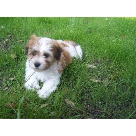 havanese puppies fl yuppy puppy havanese havanese breeder in fort florida listing id 21966