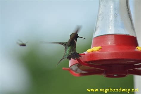 the amazing ruby throated hummingbird vagabond way