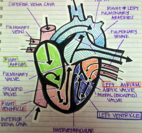 pattern of heart blood flow blood flow patterns 187 patterns gallery