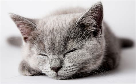 Grey Kitten Wallpaper | sleeping gray kitten wallpapers and images wallpapers