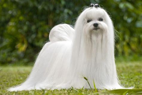 raza perros peque os pelo corto los 10 perros de raza de perros mas peque 241 os del mundo