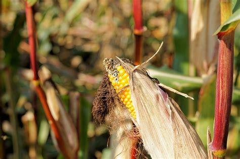 Bibit Tanaman Jagung hama tanaman jagung berikut cara jitu mengatasinya ayo