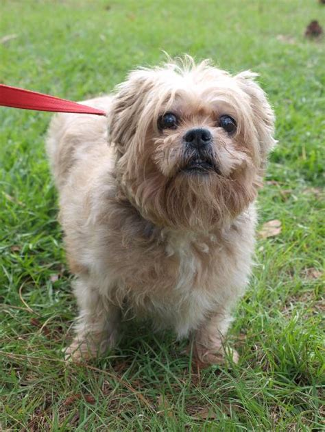expectancy of a shih tzu lhasa apso coby the senior lhasa shih tzu s web page