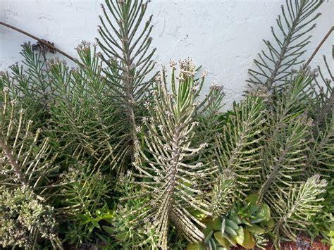 Chandelier Plant Bryophyllum Delagoense Live Succulent Plant Chandelier Plant