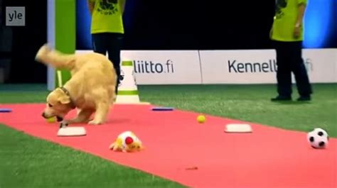 golden retriever obedience competition golden retriever hilariously fails at competition