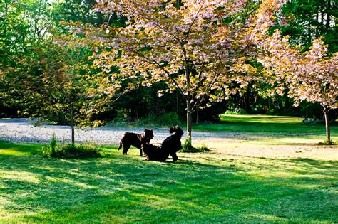 littermate puppies beneath a cherry blossom tree on a day keep the wagging