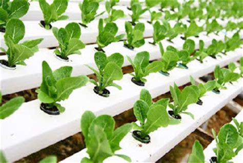 menanam hidroponik rockwool teknik cara menanam sayuran hidroponik sederhana dengan
