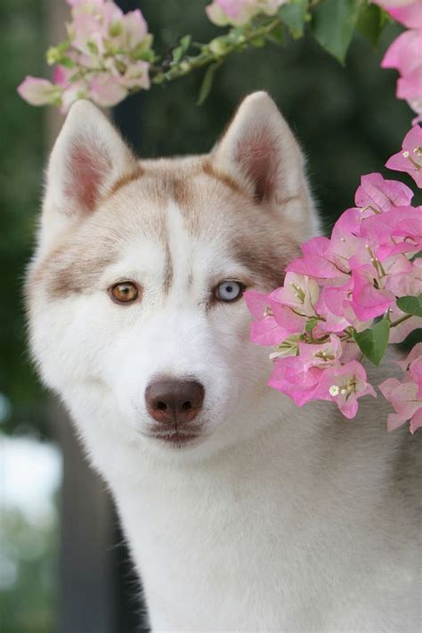 8 Care Tips For A Husky by Best 25 Siberian Husky Ideas On