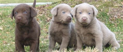 puppies for sale midland tx quelques liens utiles