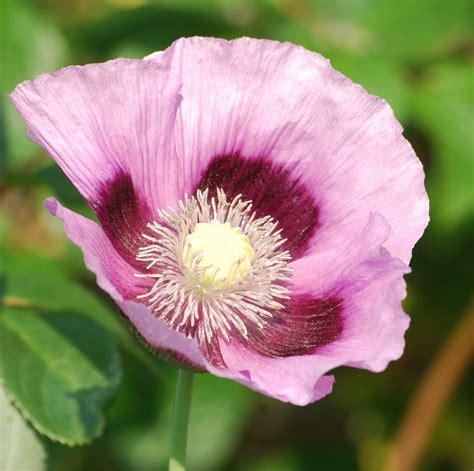 fiore botanica immagini fiorire fiore viola petalo botanica