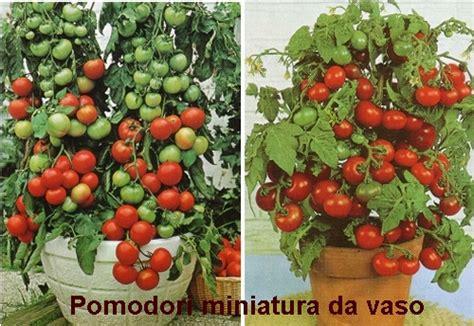 pomodorini in vaso coltivare pomodori