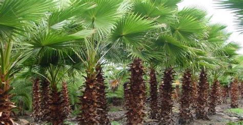 How To Decorate My Home by Why You Should Choose Palm Trees For Your Garden Terra