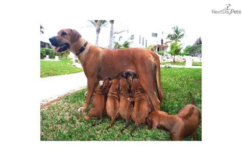 rhodesian ridgeback puppies florida rhodesian ridgeback breeders in florida freedoglistings image breeds picture
