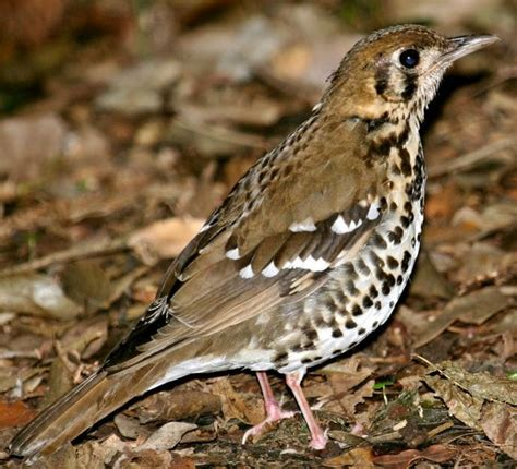 index of african birds ground thrush spotted