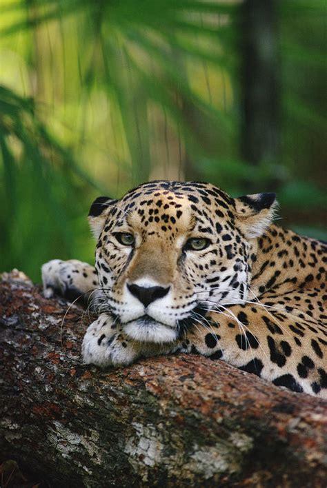 jaguar belize jaguar portrait belize photograph by gerry ellis