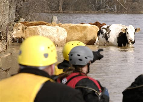 cattle rescue file fema 34519 a large animal rescue attempt to heard stranded cattle in