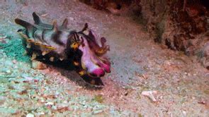 Flamboyant Cuttlefish Australia GIF - Find & Share on GIPHY