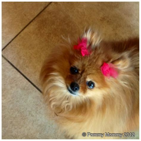 do pomeranians bark a lot how to comfort a barking pomeranian