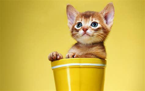 wallpaper yellow cat kitten cat red boots white yellow cat cats wallpaper