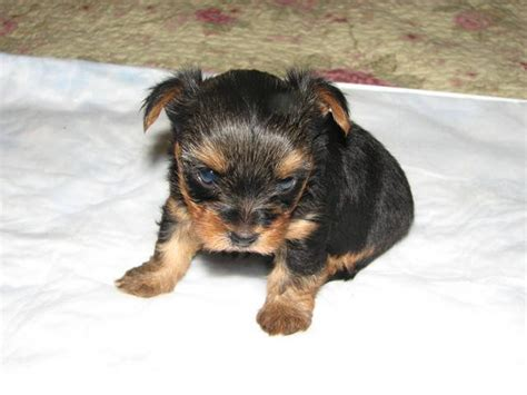 yorkie puppies for adoption in michigan tiny yorkie puppies for sale for sale adoption from ionia michigan adpost