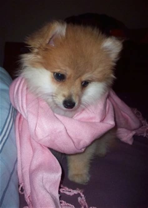 miniature american eskimo pomeranian mix pomimo breed information and pictures