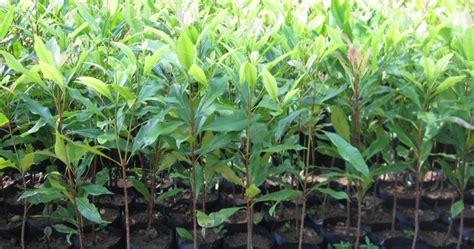 Jual Bibit Bambu Jawa Timur bibit cengkeh jual bibit cengkeh di jawa timur