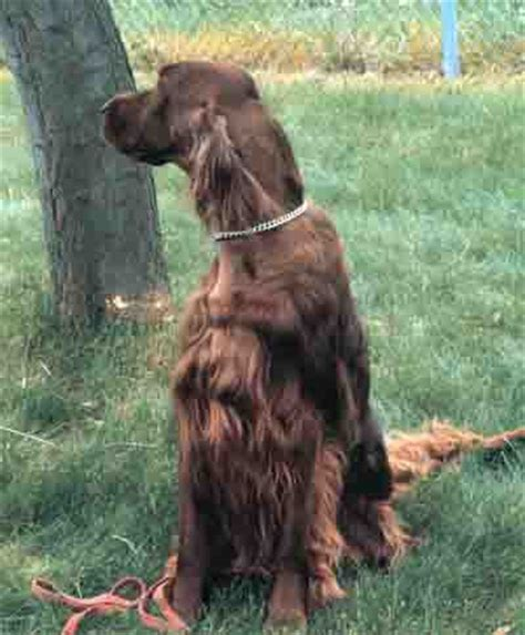 irish setter dog cost total cost of dog ownership one time and annual expenses