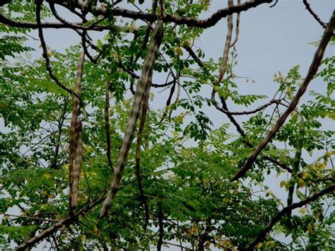 moringa garten moringa rezepte den wunderbaum f 252 r die ern 228 hrung nutzen