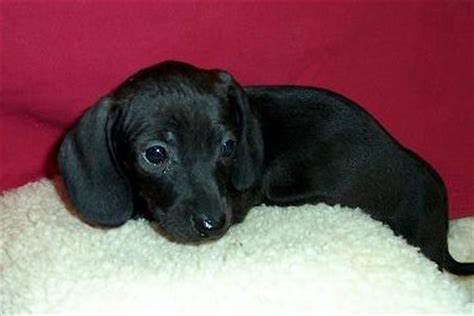 solid blue dachshund puppies for sale black dachshund puppies www pixshark images galleries with a bite