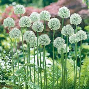 What Is The Alaska State Flower - allium mount everest longfield gardens