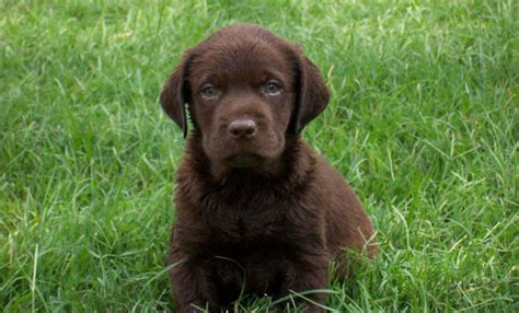 chocolate labrador puppy chocolate lab puppy labradors picture