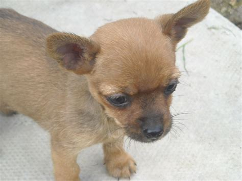 chihuahua yorkie mix puppies yorkie and chihuahua mix newhairstylesformen2014
